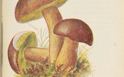 Podgrzybek – bohater puszczańskiej marynaty